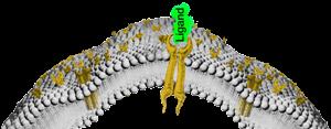 Receptor-mit-Ligand-Ausschnitt-2016-small